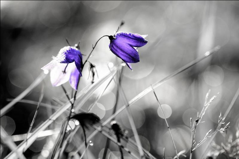Que sont ces fleurs bleues ?