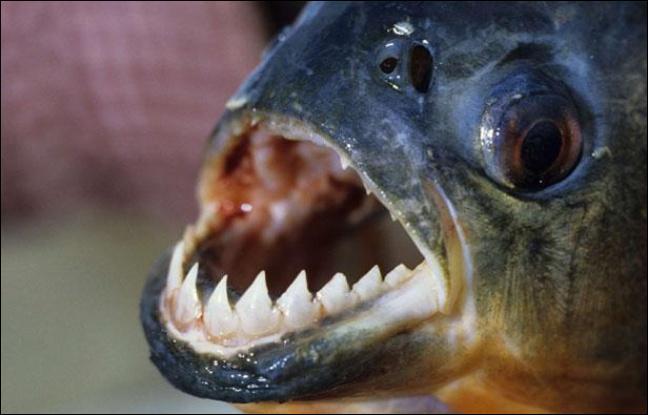 Les piranhas s'attaquent-ils aux humains ?