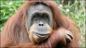 Où vivent les orangs-outans ?