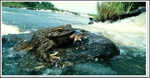 Cet animal est la grenouille... (la plus grande du monde : 50 cm)