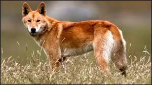 Comment s'appelle ce chien sauvage qui vit en Australie ?