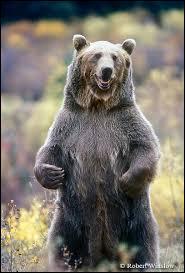 Le grizzli est un énorme ours qui vit :
