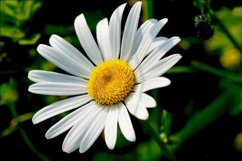 """Quelle est cette fleur que tu effeuilles en chantant """"elle (il) m'aime, un peu, beaucoup, passionnément, à la folie, pas du tout"""" ?"""