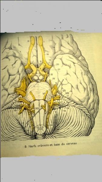 Au numéro X, le nerf illustré est :
