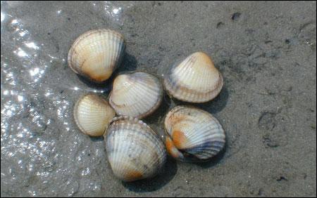 Quel est le nom de ces coquillages que tu trouves en grattant le sable ?