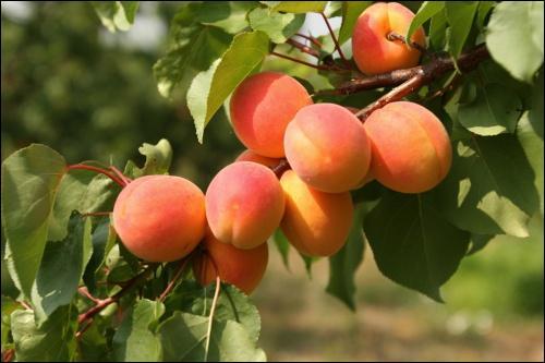 D'où est originaire l'abricot ?