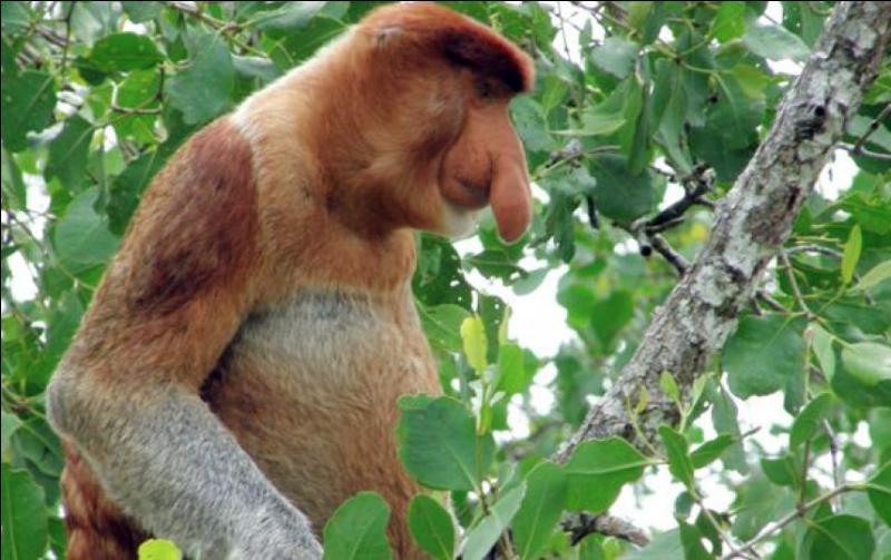 Ceci, je pense que vous l'avez deviné, est un singe. Lequel ?