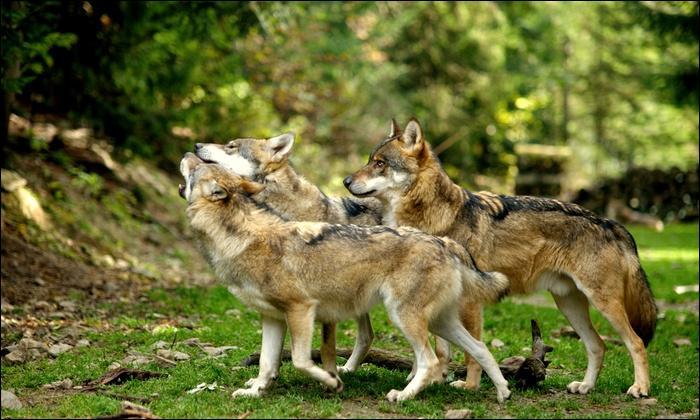 Vous pouvez voir ces bergers allemands dans le Parc national du Mercantour.