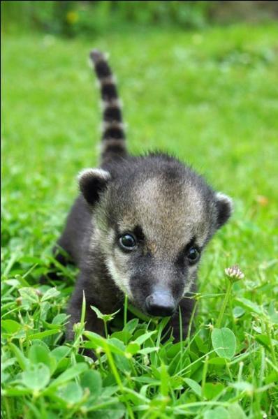 Pour voir cet animal, partez pour l'Amérique centrale et l'Amérique du sud !