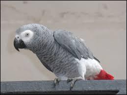 Quel est le cri du perroquet inventé par les gens ?