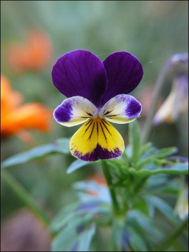 On confond souvent cette fleur avec la violette car elles font partie de la même famille. C'est...