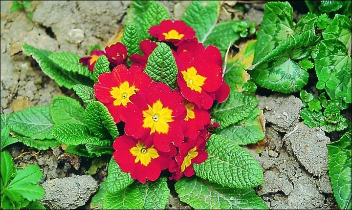 Elle fleurit dès la fin de l'hiver et annonce le printemps. Quelle est cette fleur ?