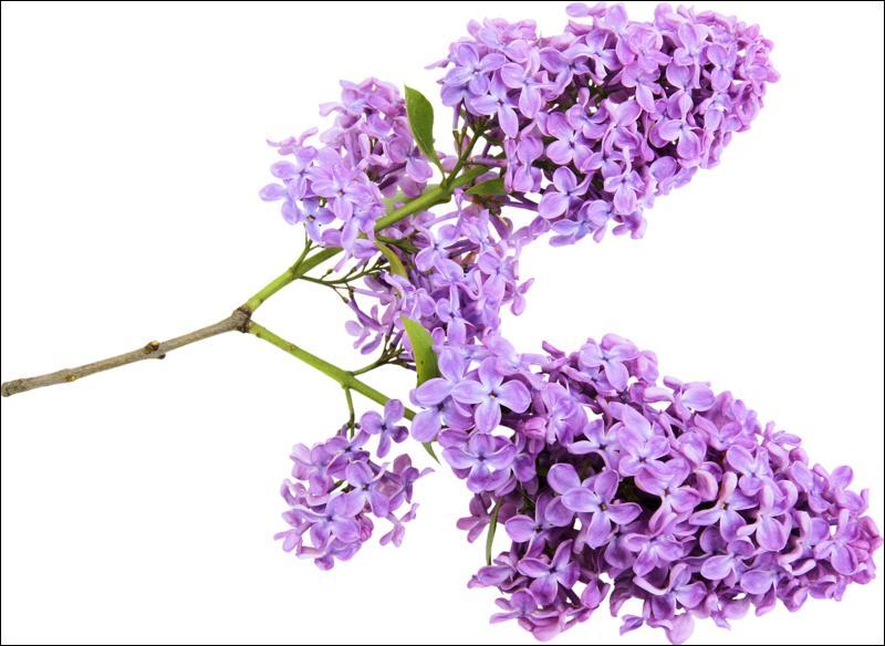 Ce rameau est très odorant. Quelle lettre termine le nom de cette fleur, au singulier ?