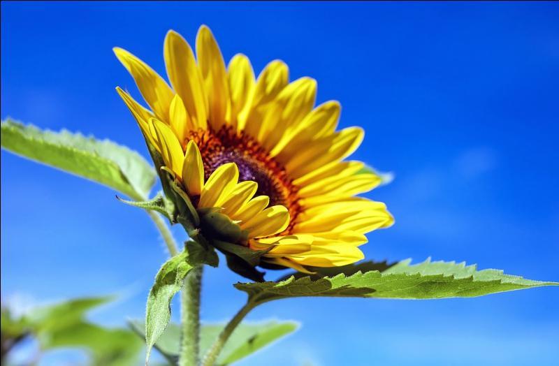 Cette fleur se tourne toujours vers le soleil. Combien de syllabes contient son nom ?