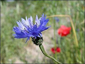 La couleur bleue te donne le nom de la fleur qui est au premier plan. Quelles sont les deux dernières lettres de son nom ?