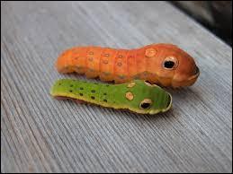 À qui vous font penser ces êtres vivants appelés Papilio troilus ?