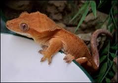 Qui est ce Pokémon qui ressemble à un gecko à cils ?