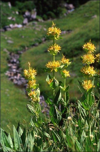 Quinquina des pauvres, bananier des Alpes ou jouvansanne, cette plante est connue pour ses propriétés apéritives. C'est...
