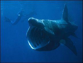Pour finir, voici le requin...