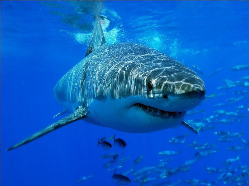 Pour commencer, le requin le plus facile à trouver et le plus craint est le :