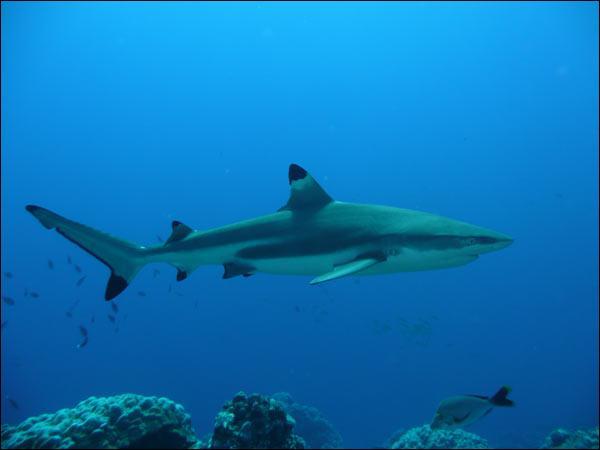 Bon, maintenant on passe aux requins plus gentils !Le requin...