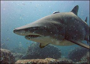 Ce requin peut paraître impressionnant mais il n'est pas vraiment dangereux. Le requin...
