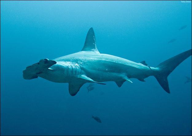 On peut reconnaître le nom de ce requin grâce à sa forme.