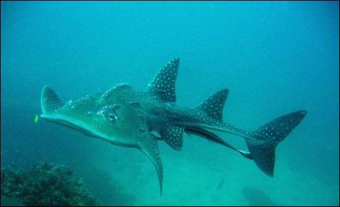 Voici le requin...