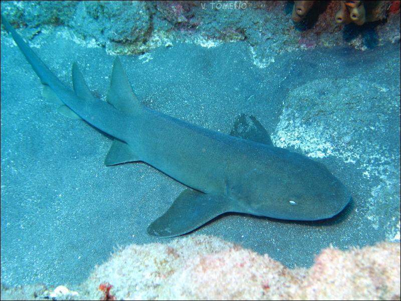 Ce requin est vraiment inoffensif. Comment s'appelle-t-il ?