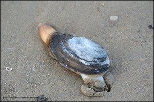 """Voici revenu le temps de la pêche à pied. À l'aide d'une bêche, tu peux ramener à la surface ce gros coquillage enfoui dans le sable. Ajoute une lettre au mot """"me"""" pour connaître son nom."""