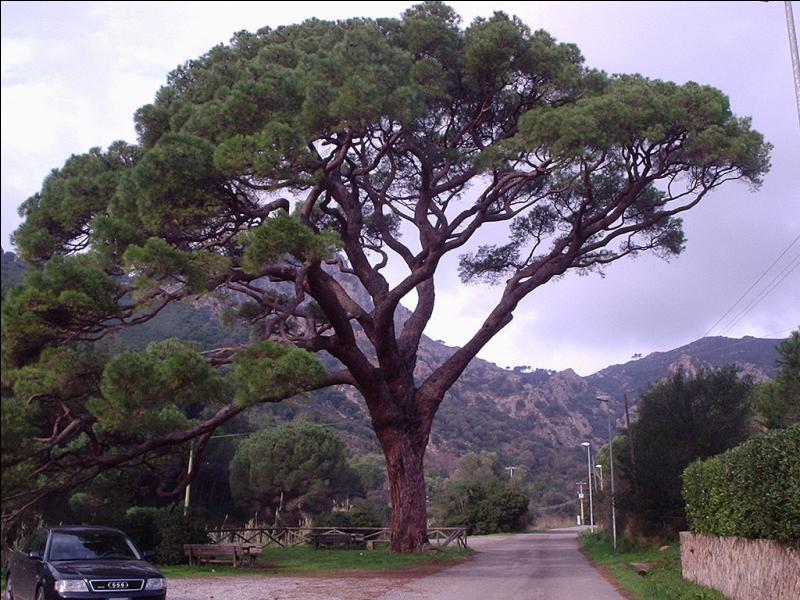 """Ajoute une lettre au mot """"in"""" pour connaître le nom de cet arbre appartenant au groupe des conifères."""