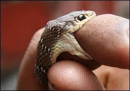 En cas de morsure de serpent venimeux, il faut :