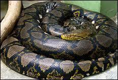 Quel est le serpent le plus long du monde ?