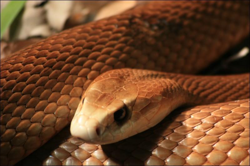 Quel est le serpent le plus venimeux de la planète ?