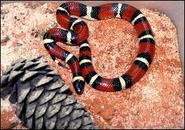 Lequel de ces serpents n'est pas venimeux ?