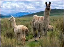 """""""L"""" comme """"lama"""". A quelle famille de mammifères appartient ce sympathique animal ?"""