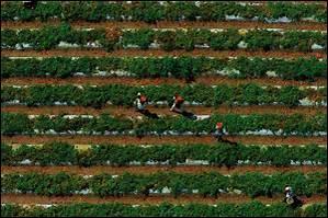 Le Mexique est le premier exportateur mondial de tomates fraîches.