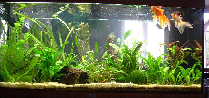 Quizz les poissons d 39 aquarium quiz poissons aquariophilie for Ou placer aquarium poisson rouge