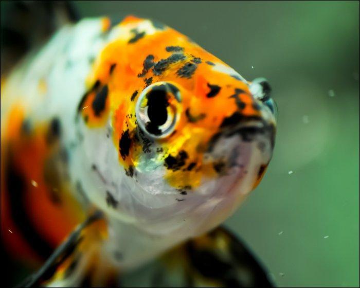 Quizz les poissons d 39 aquarium quiz poissons aquariophilie for Poisson rouge gros yeux