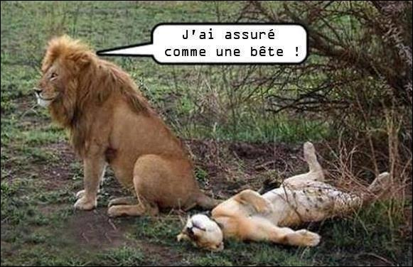 Pierre Desproges : Le lion est un gros con lâche et couard. La plupart du temps, le lion ne chasse pas lui-même, il dort. Il laisse à sa femelle le soin de chasser à sa place, ou bien il se planque derrière elle pour ne pas ...