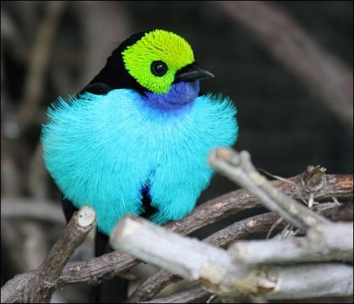 Première poche digestive des oiseaux : ja...