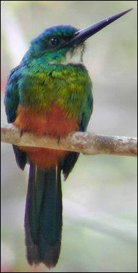 Oiseau insectivore, voisin du martin-pêcheur, au plumage à dominante verte, vivant dans les forêts d'Amérique tropicale, en photo :