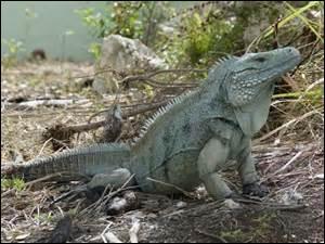 Les iguanes bleus ne vivent que sur l'île de Grand Cayman.