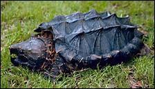 Certaines tortues se nourrissent de poissons et d'oiseaux.