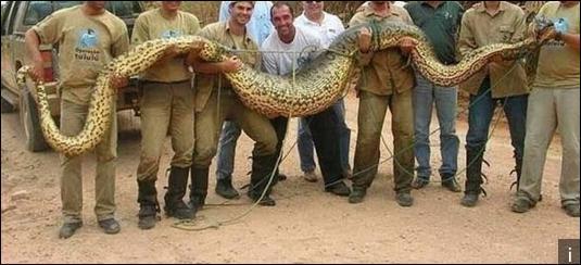 Le serpent le plus grand du monde est l'anaconda vert.