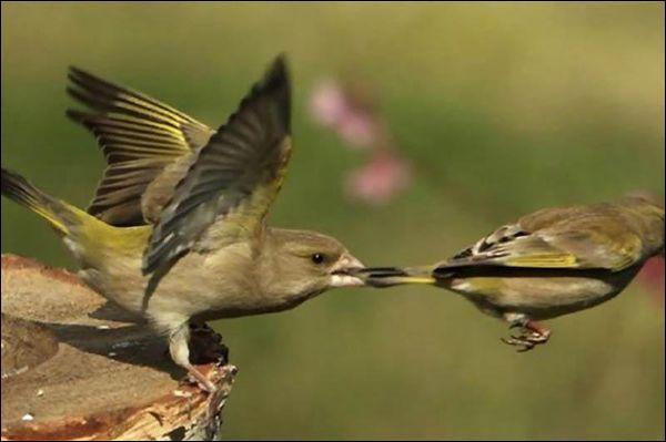 Quelle partie du corps de l'oiseau a été attrapée par son collègue ?