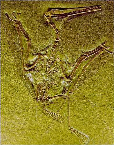 Quel fut le premier ptérosaure à avoir reçu un nom scientifique ?