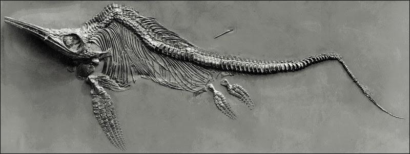 Pourquoi la queue des ichtyosaures semble-t-elle brisée à leur extrémité ?