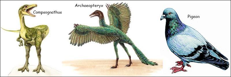 Quel caractère anatomique différencie l'archéoptéryx (le plus vieil oiseau du monde) d'un petit dinosaure carnivore ?