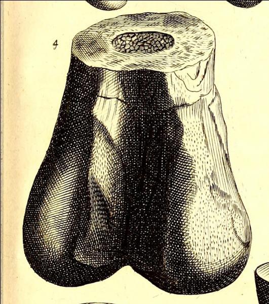 Un morceau de fémur de l'animal était pourtant connu depuis 1677. Cependant les savants de l'époque l'ont pris pour :